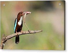 White-throated Kingfisher Acrylic Print