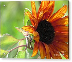 Sunflowers  Acrylic Print by France Laliberte