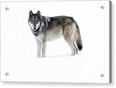 820f Of The Lamar Canyon Pack Acrylic Print