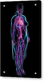 Cardiovascular System Acrylic Print by Pixologicstudio/science Photo Library