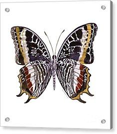88 Castor Butterfly Acrylic Print