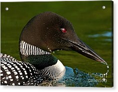 Common Loon Acrylic Print