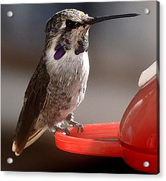Acrylic Print featuring the photograph Female Anna's Sitting On Perch by Jay Milo