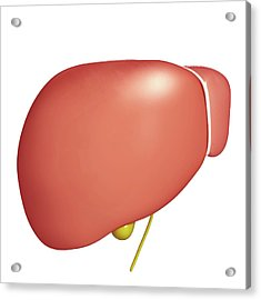 Healthy Liver Acrylic Print by Pixologicstudio/science Photo Library