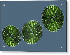 Micrasterias Desmids, Light Micrograph Acrylic Print by Science Photo Library