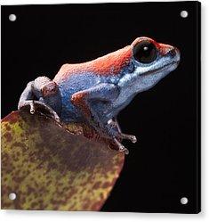 Poison Dart Frog Acrylic Print by Dirk Ercken