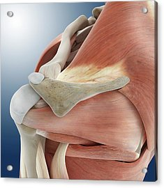 Shoulder Anatomy Acrylic Print