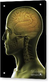 The Human Brain Acrylic Print