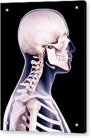 Neck Muscles Acrylic Print by Sebastian Kaulitzki/science Photo Library