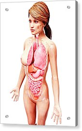 Female Anatomy Acrylic Print by Pixologicstudio/science Photo Library