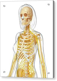 Female Anatomy Acrylic Print by Pixologicstudio/science Photo Library