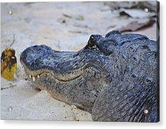 A Alligator Acrylic Print