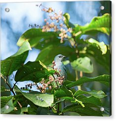 A Azure-shouldered Tanager On A Branch Acrylic Print