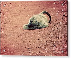 A Baboon On African Road Acrylic Print by Michal Bednarek