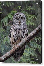 A Barred Owl Acrylic Print by Daniel Behm