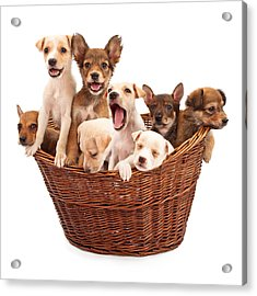 A Basket Of Puppies  Acrylic Print