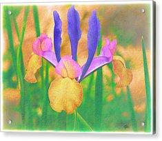 A Bearded Iris In My Vincent Van Gogh Garden Acrylic Print