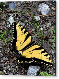 A Beautiful Swallowtail Butterfly Acrylic Print by Eva Thomas