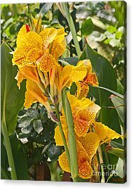 A Beautiful Yellow Canna Lilly Acrylic Print by Kenny Bosak