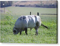 A Big Big Bull  Acrylic Print by Jeff Swan