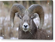 A Big Ram Caught With His Mouth Full Acrylic Print by Jeff Swan