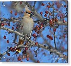 A Bird For Its Crest.. Acrylic Print by Nina Stavlund