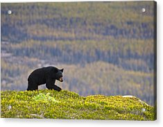 A Black Bear Foraging For Berries Near Acrylic Print by Michael Jones