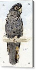 A Black Cockatoo Acrylic Print