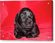 A Black Labrador Retriever Puppy Lying Acrylic Print