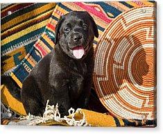 A Black Labrador Retriever Puppy Acrylic Print