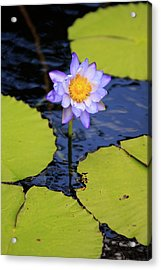 A Bright Purple Water Lily Acrylic Print
