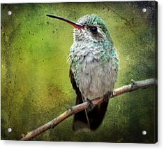 A Broad-billed Hummer Acrylic Print