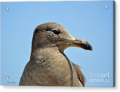 A Brown Gull In Profile Acrylic Print