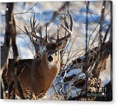 A Buck In The Bush Acrylic Print