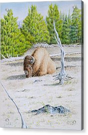 A Buffalo Sits In Yellowstone Acrylic Print