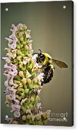 A Bumble Bee Working Acrylic Print