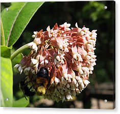 A Bumble Bees Feast Acrylic Print by Deborah Fay