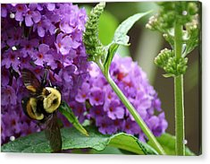 A Bumblebee In The Garden Acrylic Print by Kim Pate