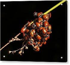 A Bunch Of Ladybugs Acrylic Print
