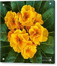 A Bunch Of Yellow Flowers Acrylic Print by Kenny Bosak
