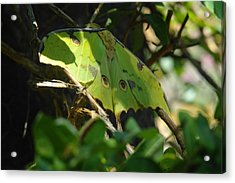A Buttterfly Resting Acrylic Print by Jeff Swan
