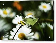 A Cabbage White Butterfly Rests Acrylic Print