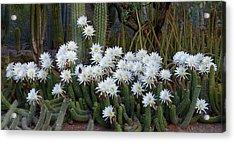 A Cactus Awakening Acrylic Print