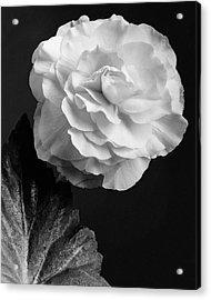 A Camellia Flower Acrylic Print by J. Horace McFarland