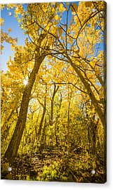 A Canopy Of Aspens At Mcgee Creek In The Eastern Sierras Acrylic Print