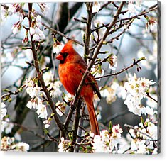 A Cardinal In The Apple Blossoms Acrylic Print