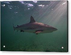 A Carribbean Reef Shark Swims Acrylic Print