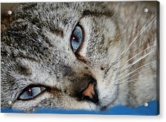 A Cat Named...blue Acrylic Print