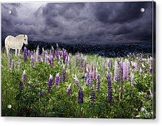A Childs Dream Among Lupine Acrylic Print