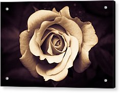 A Chocolate Raspberry Rose Acrylic Print by Wade Brooks